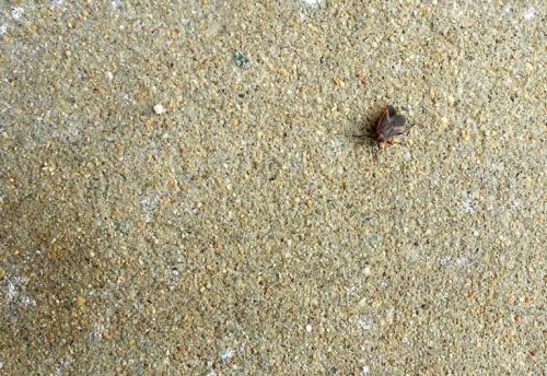 Boxelder Bug on the walk at MMU, 11 a.m. Dec. 19. A bit out of season for a stroll, isn't it?