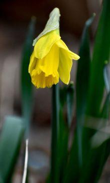 First daffodil.